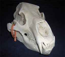 Skull Cleaning and Whitening and Mounting by Brian Pragle